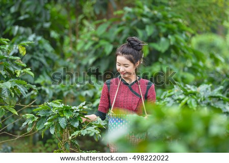Laos woman unidentified coffee farmer is harvesting coffee berries in the coffee farm, Woman wearing traditional Laos people ,vintage style,Pakse Laos