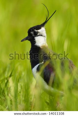Lapwing - (Vanellus vanellus) male