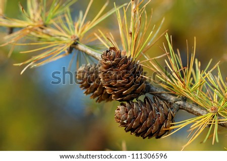 Larch branch with cones in autumn. Photo was taken in the Ojcowski National Park, Poland.