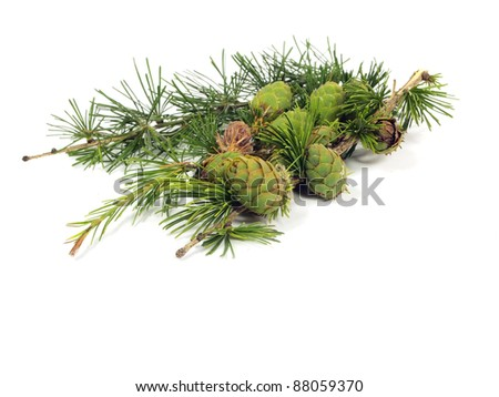 larch branch with cones on a white background