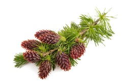 Larch branch with flowers isolated on white