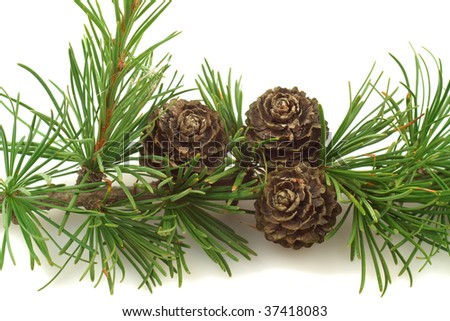 larch cones overe white background