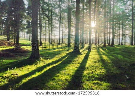 larch forest with sunlight and shadows at sunset #172595318