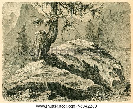 Larch in mountains - old illustration by unidentifed artist from Podrecznik do nauki Botaniki, authors M.Arctowna and W Grzegorzewska, editor M.Arcta, Warsaw, 1907