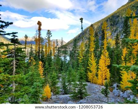 Larch trees among evergreens at Colchuck Lake, WA.