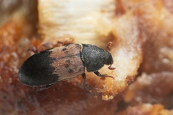 Larder beetle, Dermestes ladarius on meat, this beetle can be a pest on animal products