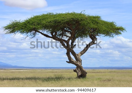 Large Acacia tree in the open savanna plains of East Africa