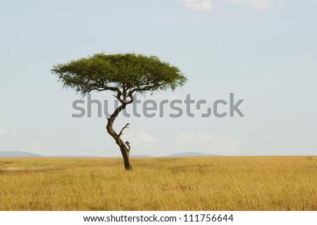 Large Acacia tree in the open savanna plains of Masai Mara,Kenya