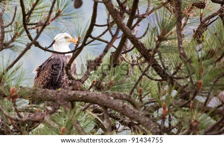 Large adult bald eagle perched on a tree in Idaho