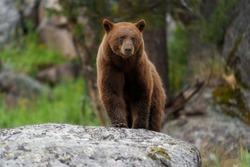Large Adult Cinnamon Black Bear Standing On Rock