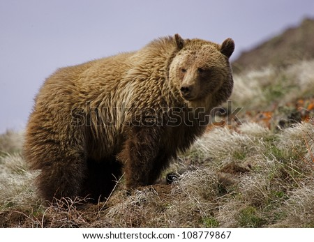 Large adult Grizzly Bear in Yellowstone National Park