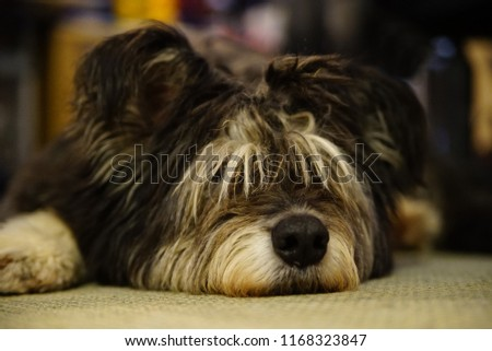 large adult irish wolfhound, lying on the floor indoor, dozing, long hair covers the eyes