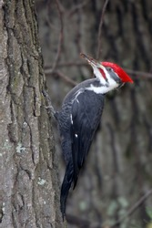 Large Adult Male Pileated Woodpecker clinging to the side of a tree with wood chips on it's beak.