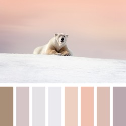 Large adult male polar bear rests on the snow at dusk, Svalbard, Artic circle. In a colour palette with complimentary colour swatches.