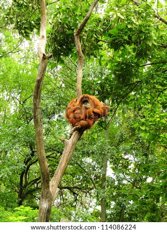 Large adult Orangutan perched high among the trees
