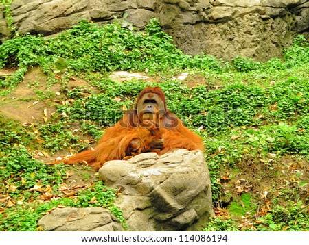Large adult Orangutan sitting among rocks and leaves.