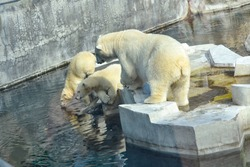Large adult polar bear with two baby, small cubs drink water at the zoo