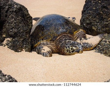 Large adult sea turtle between two volcanic rocks on the North Shore of Hawaii