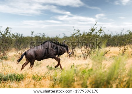 Large african antelope Gnu (Blue wildebeest, Connochaetes taurinus) running in yellow dry grass at the evening in Namibian savanna. Wildlife photography in Africa Stock photo ©