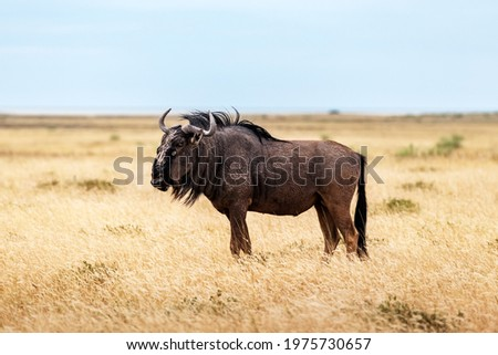 Large african antelope Gnu (Blue wildebeest, Connochaetes taurinus) walking in yellow dry grass at the evening in Namibian savanna. Wildlife photography in Africa Stock photo ©