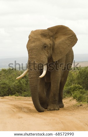 Large African bull elephant in South African national park safari