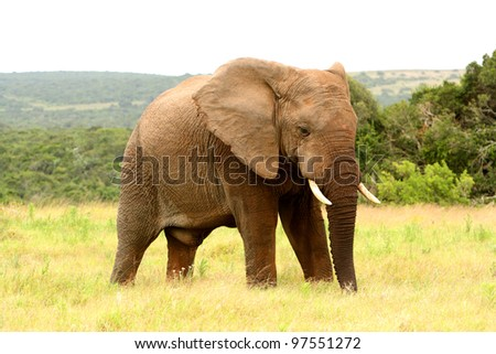 Large African elephant in a national park, South Africa - stock photo