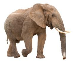 Large African Elephant isolated on white background