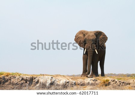 Large African elephant (Loxodonta Africana) on the banks of the Chobe River in Botswana drinking water and playing in the mud