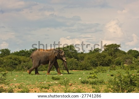 Large african elephant walking in grass-field; Loxodonta africana; South Africa