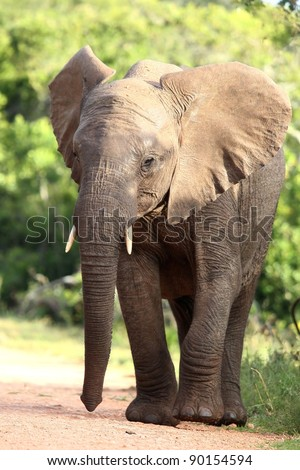 Large african elephant with big ears and and long trunk