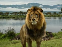 Large African male lion at lake on Serengeti plains