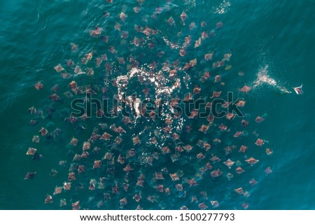 Large aggregation of Munk's devil rays, mobula munkiana, feeding at the surface, Sea of Cortes, Baja California, Mexico. Stock fotó ©