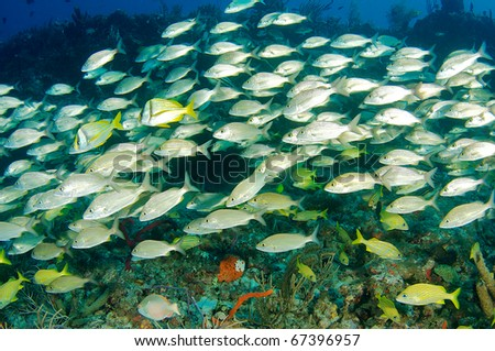 Large aggregation of schooling grunts moving over a coral reef in south east Florida.