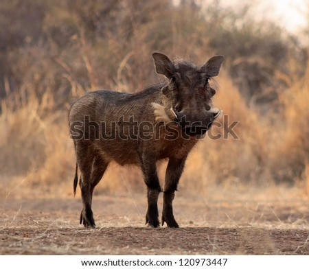 Large Alert Warthog Male Standing in Clearing