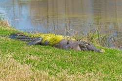 Large Alligator Coated in Green Algae in Brazo Bend State Park in Texas