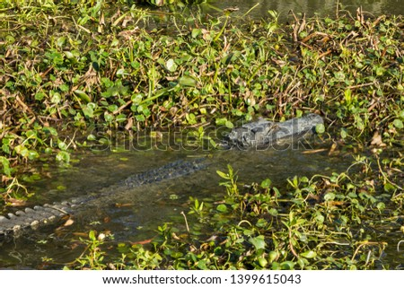Large alligator swimming through lily pad covered river towards shore on sunny day