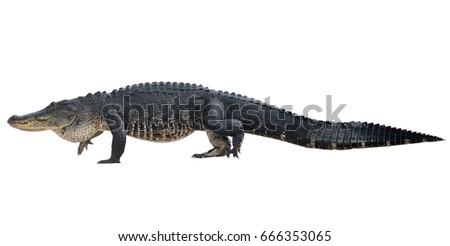 Large American Alligator isolated on white background