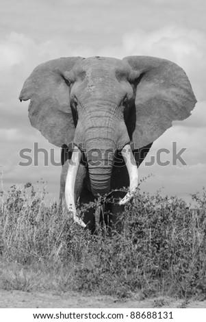 Large and dominant male elephant, Amboseli National Park, Kenya