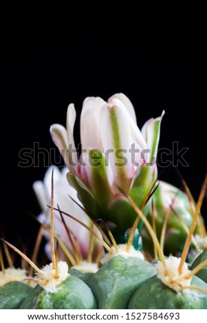 large and old with large needle cactus during flowering, close-up of plants for desert conditions