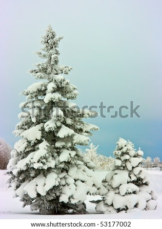 Large and small fir trees covered with snow