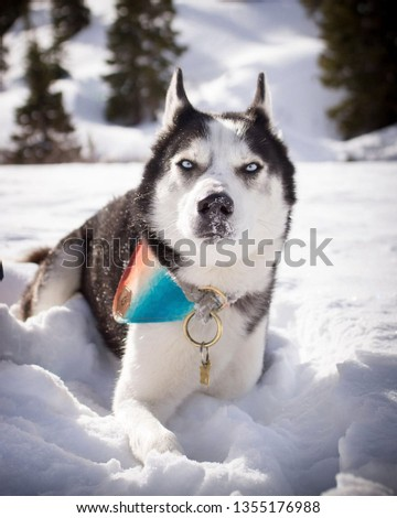 large and small pictures of the most beautiful Siberian husky
