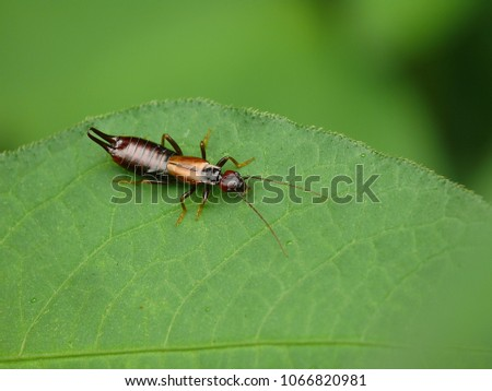 Large and Strong Earwig on Leaf