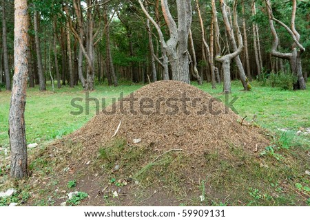 Large anthill in the coniferous forest - stock photo