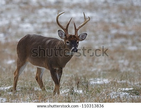 large antlered Whitetail Buck walking through a hay field with snow, Great Smoky Mountains National Park, Tennessee / North Carolina; white tail, white tailed, white-tail, white-tailed, whitetailed