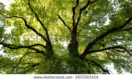 Large ash tree photographed from below. At the foot of the tree, view of the trunk, branches and green foliage. Ivy stems climbing on the trunk. Yellow evening light. A sunny summer day in France. Stock photo ©