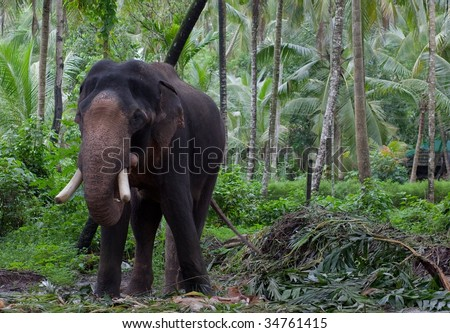 Large Asian Elephant in Jungle