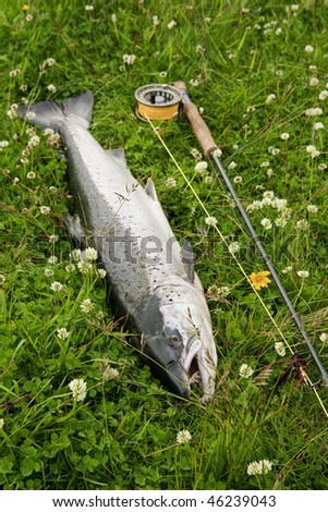 Large atlantic salmon on the river bank