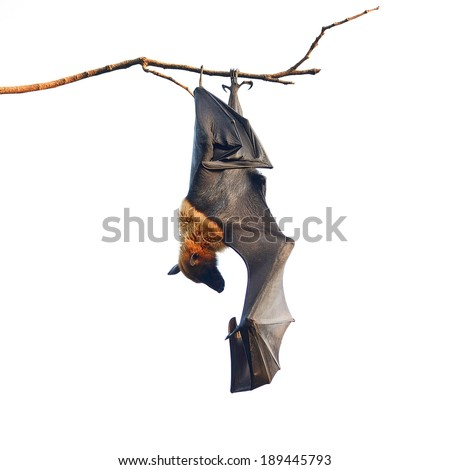 Shutterstock Large Bat, Hanging Flying Fox (Pteropus vampyrus), during the sleeping period in nature background