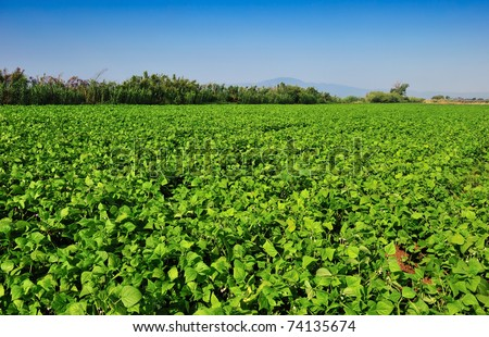 Large bean plantation in southern Greece under a clear morning blue sky