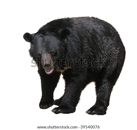 Large bear with black fur at the zoo, isolated. - stock photo